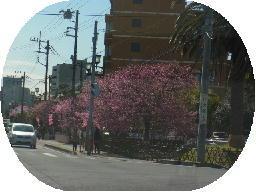 130311河津桜2.jpg